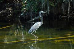Heron in everglades Stock Photos