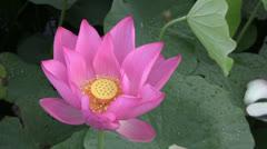 Pink Lotus blossom Stock Footage