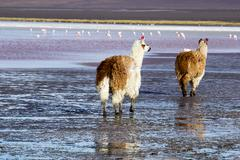 lama on the laguna colorada, bolivia - stock photo