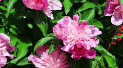 Pink flowers of peony Stock Footage