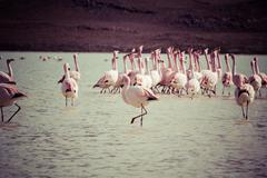 Vintage flamingos on lake in andes, the southern part of bolivia Stock Photos