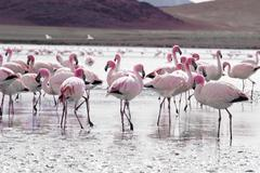 Flamingos on lake in andes, the southern part of bolivia Stock Photos