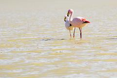 flamingos on lake in andes, the southern part of bolivia - stock photo