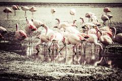 vintage flamingos on lake in andes, the southern part of bolivia - stock photo