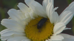 A beautiful daisy.Black beetle.Macro,Close up Stock Footage