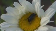 Stock Video Footage of A beautiful daisy.Black beetle.Macro,Close up