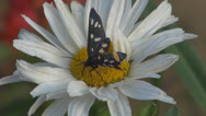 Stock Video Footage of A beautiful butterfly coloring.White daisy