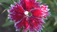 Stock Video Footage of ,,Red Carnation of garden.Bee,Pollination,Close up,