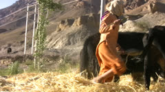 Girl and yak pounding barley in Spiti Valley Stock Footage