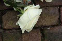 mourning rose - stock photo