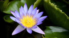 Violet lotus in pond Stock Footage