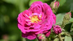 Rose bloom Stock Footage