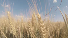 Wheat Field - stock footage