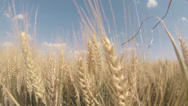 Stock Video Footage of Wheat Field