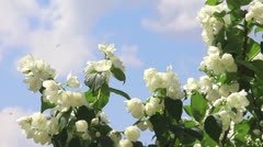 Branch of jasmine with flowers Stock Footage