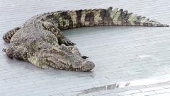Crocodile in farm of thailand Stock Footage