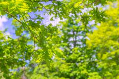 oak leaves - stock photo