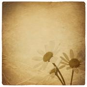 vintage chamomile flowers background. isolated on white. - stock photo