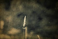 single blade of grass, vintage - stock photo