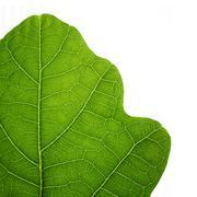 green oak leaf. closeup, isolated. - stock photo