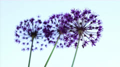 allium flowers - stock footage