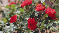 Stock Video Footage of Red rose bush