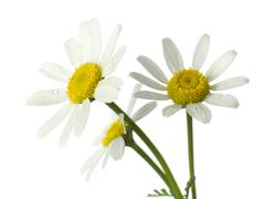 Stock Photo of chamomile flowers. isolated on white, closeup.