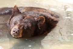 Black Bear Bath Stock Photos