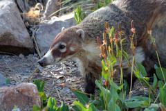 Arizona Coati Snout - stock photo