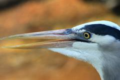 Blue Heron Close Up Stock Photos
