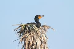 Double-crested cormorant in a nest Stock Photos