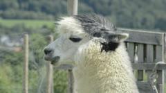 Stock Video Footage of Alpaca