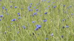 Cornflowers in a field of grain Stock Footage