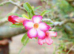 tropical flower pink adenium. - stock photo