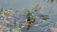 Big dragonfly  laying eggs side view Stock Footage