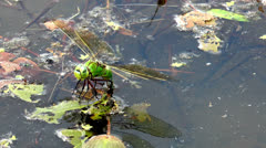 Big dragonfly laying eggs front view closeup Stock Footage