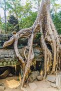 giant tree on the roof of the tample. cambodia. ankor wat - stock photo
