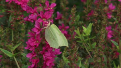 Brimstone feeding on Purple Loosestrife + flying away Stock Footage