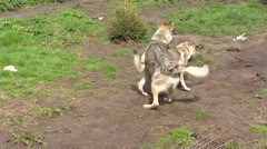 Pair of Czechoslovakian Wolfdog mating Stock Footage
