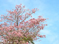 Tebebuia flower (pink trumpet) blooming, tabebuia rosea Stock Photos