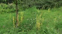 Dark Mullein (Verbascum nigrum) blooming in field + pan Stock Footage