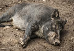 sleeping boar - stock photo