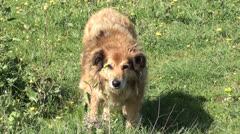 Dog looks with concern and anxiety - stock footage