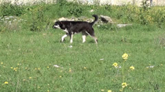 Stray dog barks and runs away Stock Footage