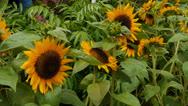 Stock Video Footage of sun flowers 1