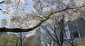 Beautiful Cherry Trees Central Park New York City Spring Season, NYC Buildings Footage