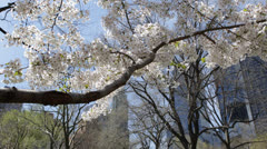 Beautiful Cherry Trees Central Park New York City Spring Season, NYC Buildings Stock Footage