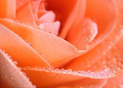 Orange Red rose with water drops - stock photo