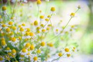 Stock Photo of camomile flowers on a field