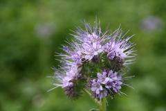 Phacelia - an organic fertilizer Stock Photos